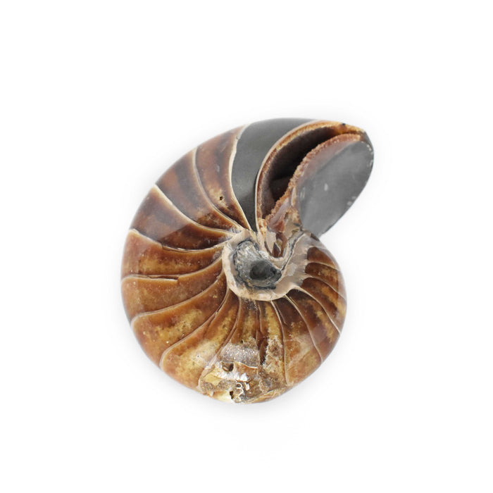 Ammonite Nautilus Polished AMMNAU028 - Madagascar Import SEAM Inc.