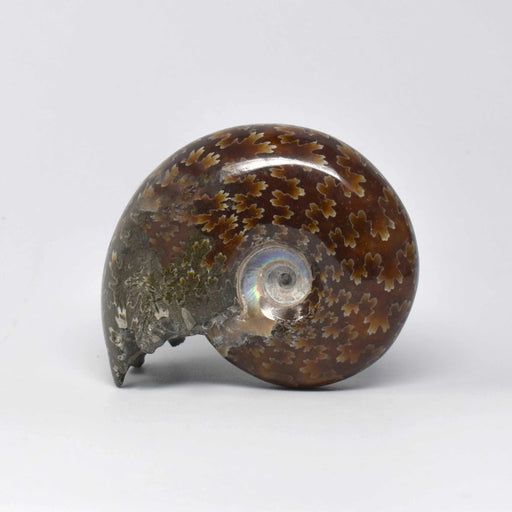 Ammonite 2 Faces Polished AMMP2F010 - Madagascar Import SEAM Inc.