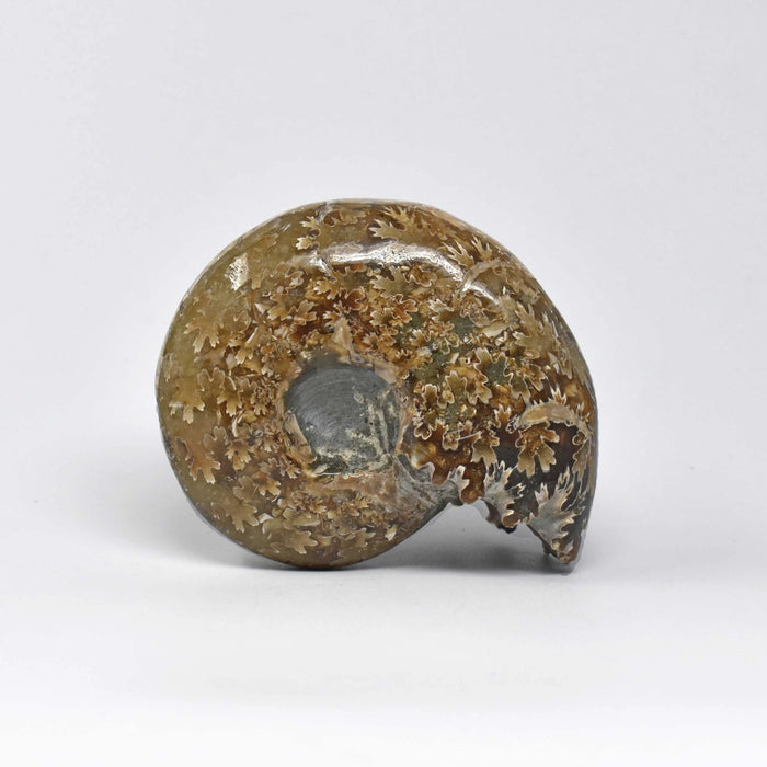 Ammonite 2 Faces Polished AMMP2F012 - Madagascar Import SEAM Inc.