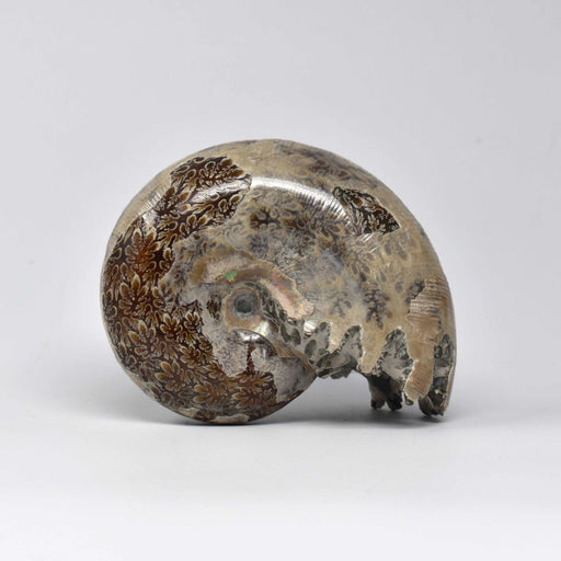 Ammonite 2 Faces Polished AMMP2F020 - Madagascar Import SEAM Inc.