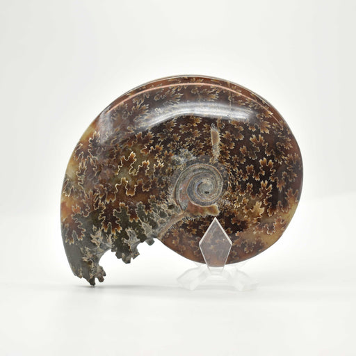 Ammonite 2 Faces Polished AMMP2F036 - Madagascar Import SEAM Inc.