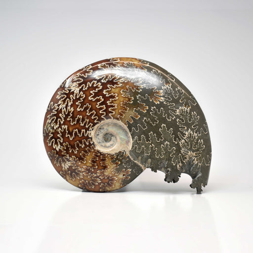 Ammonite 2 Faces Polished AMMP2F078 - Madagascar Import SEAM Inc.