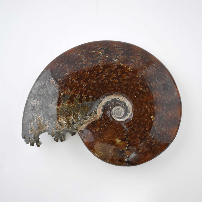 Ammonite 2 Faces Polished AMMP2F082 - Madagascar Import SEAM Inc.