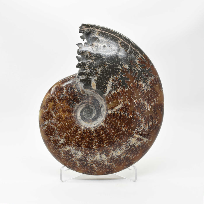 Ammonite 2 Faces Polished AMMP2F098