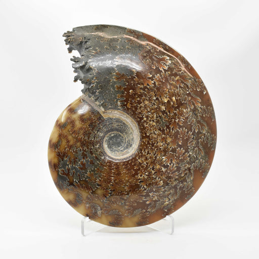 Ammonite 2 Faces Polished AMMP2F132