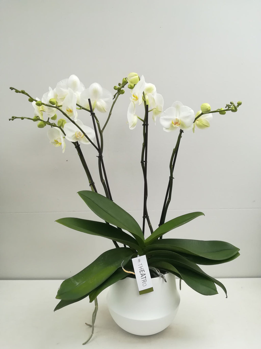 Kamerplant - witte theatro-orchidee (4 takken) in witte pot