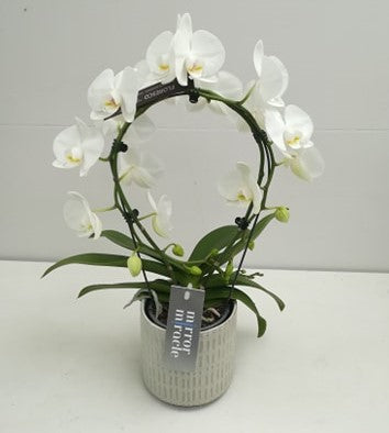 Kamerplant - witte gebogen orchidee in wit-grijze pot
