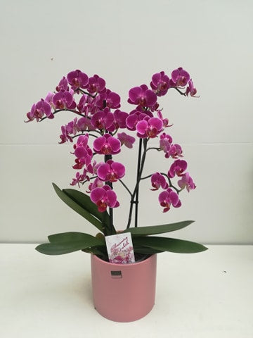 Kamerplant - fushia orchidee (3 takken) in roze pot