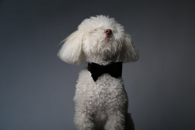 Max-Bone Bond dog bow tie in black