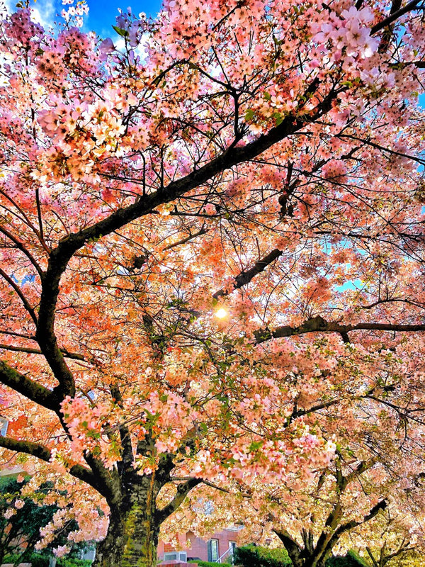 Colourful Cherry Blossoms Photography Print