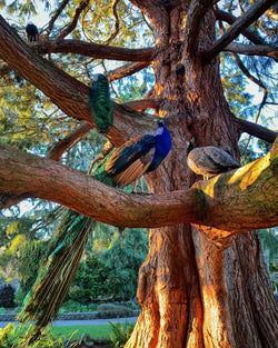 Peacocks at the Park Photography Print