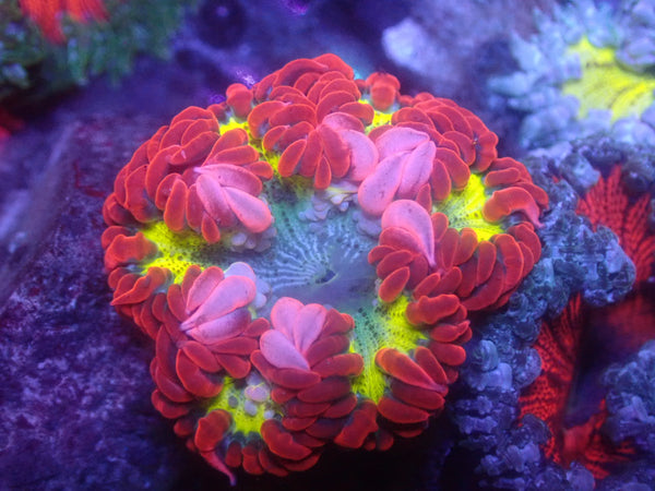 Bullseye Rock Flower Anemone RFA Auction