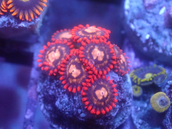 Coral's Coral Assassination Zoa