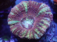 Coral's Coral Mariana Trench Japanese Acan Auction Ended
