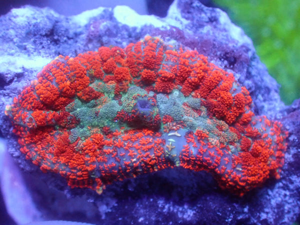 Coral's Coral Patchwork Rhodactis Mushroom (NEW RELEASE!)