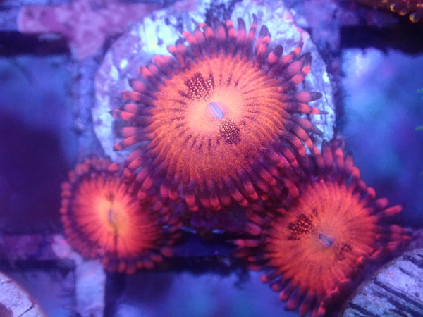 JF Crybaby Zoa Auction