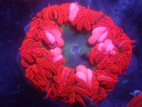 Green with Red Skirt Rock Flower Anemone RFA Auction Ended