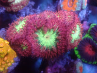 Coral's Coral Spring Fever Blasto Auction Ended