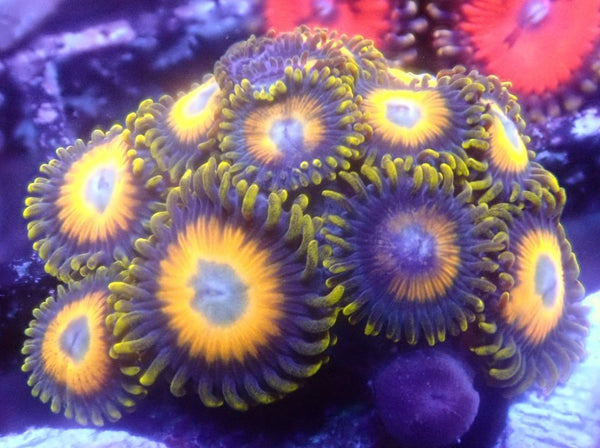 Scrambled Eggs Zoa