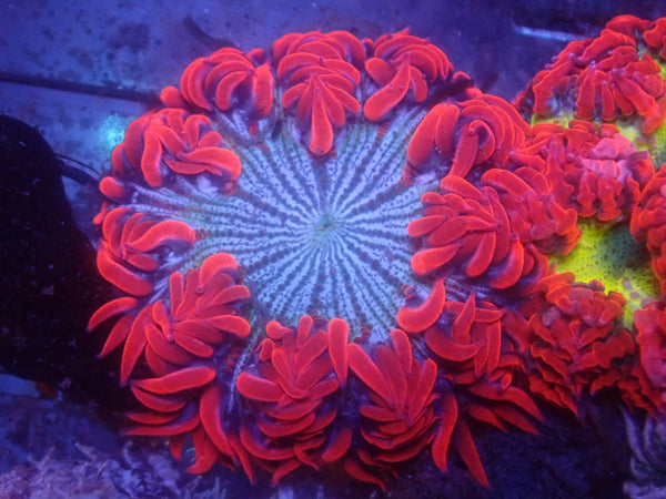 Striped Red Skirt Rock Flower Anemone RFA Auction
