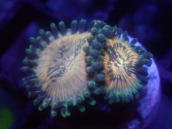 Hawaiian People Eater Zoa Auction Ended