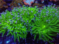 Bicolor Pink & Purple Tip Aquacultured Torch #1