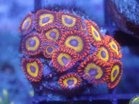 Fruit Loops Zoa Auction Ended