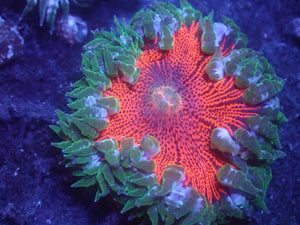 Neon Red Rock Flower Anemone RFA