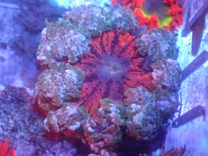 Red with Blue Skirt Rock Flower Anemone RFA