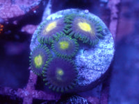 Yellow Center Zoanthid