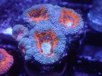 Red and Blue Acan