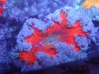 Pink and Blue Ultra Rock Flower Anemone RFA