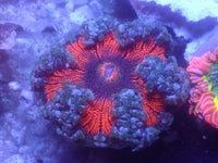Red and Blue Ultra Rock Flower Anemone RFA