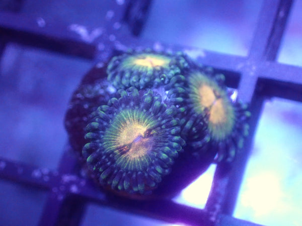 Yellow and Green Zoa