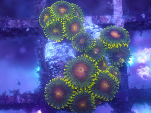 Ghoul Zoa Auction Ended