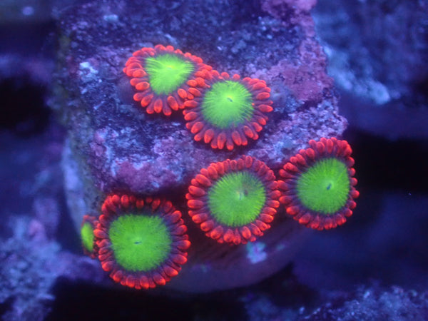 Goblins on Fire Zoa Auction