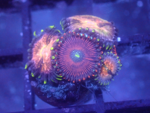 Coral's Coral Blood Oath + Nirvana Zoa Combo Auction