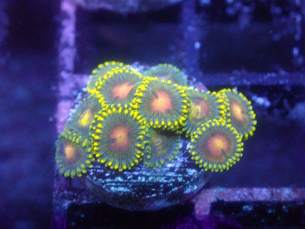 Ghoul Zoa Auction