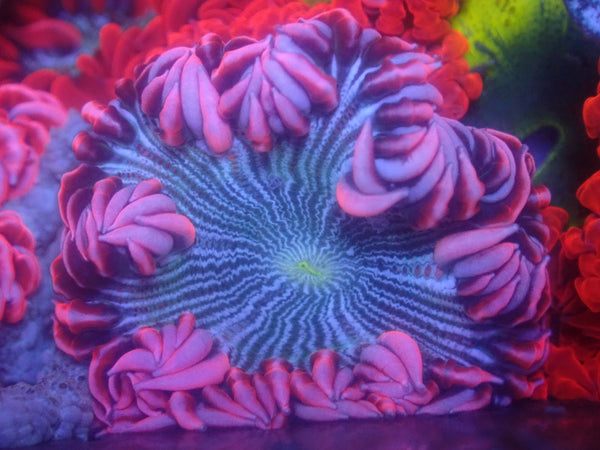 Pink Skirt Zebra Rock Flower Anemone RFA Auction