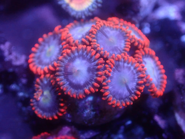 Fire and Ice Zoa Auction Ended