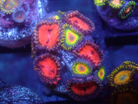 WWC Bloodsucker + Rasta Zoa Combo Auction Ended
