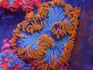 Orange Rim Striped Rock Flower Anemone RFA Auction Ended