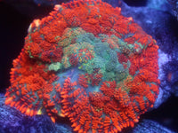 Coral's Coral Patchwork Rhodactis Mushroom Auction Ended