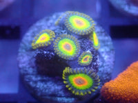 Rasta Zoa Auction Ended