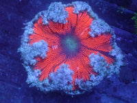 Red with Blue Skirt Rock Flower Anemone RFA Auction Ended