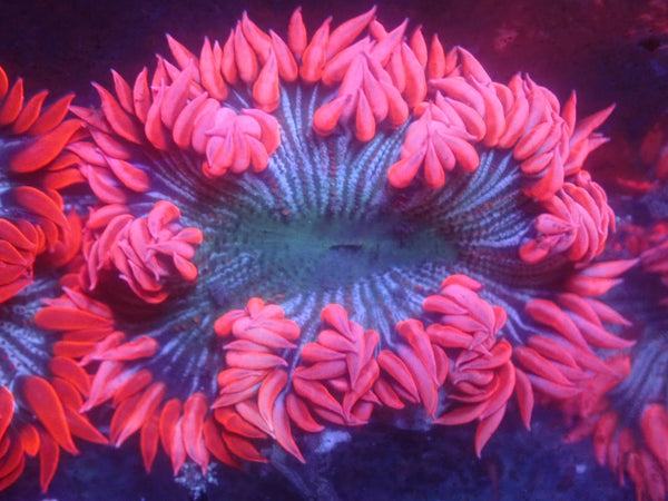 Pink Skirt Striped Rock Flower Anemone RFA Auction Ended