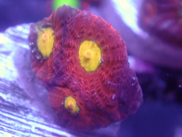 Coral's Coral The Devil's Anus Favia Auction Ended