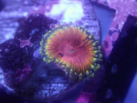 BSA Kamakazi Kush Zoa Auction Ended