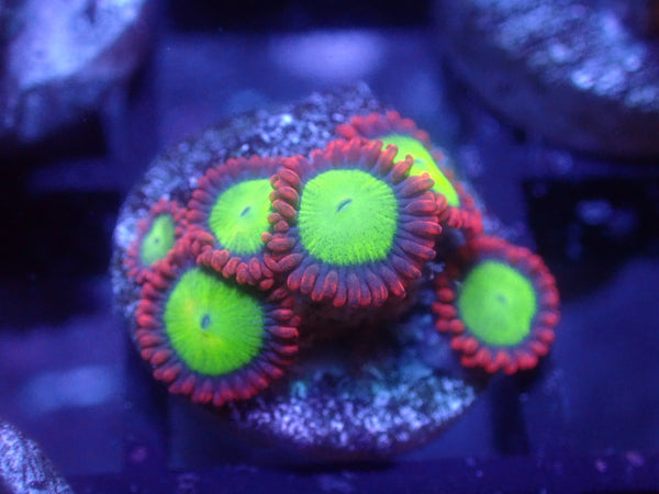 Goblins on Fire Zoa Auction Ended