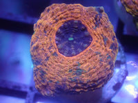 Coral's Coral Duck Hunt Acan Echinata Auction Ended